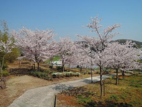 秋葉神社(神戸市西区櫨谷)へ桜を見に行きました
