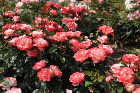 播磨中央公園のバラ