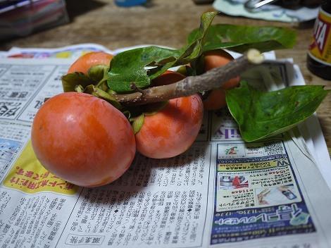 お裾分けの柿